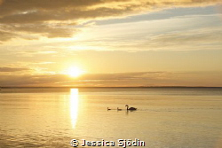 I had company in the sunset with a beautiful swan family. by Jessica Sjödin