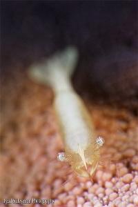 Starfish Shrimp / Yellow / - Zenopontonia soror (no crop) by Iyad Suleyman