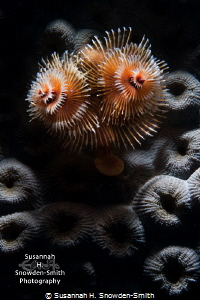 """""""Christmas Texture""""  Christmas tree worms in a beautifu... by Susannah H. Snowden-Smith"""