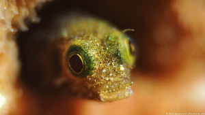 Secretary blenny (Acanthemblemari maria) by Brad Ryon