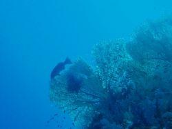 Fan coral and grouper taken at Sharks Observatory, Ras Mo... by Nikki Van Veelen