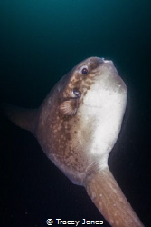 Mola Mola by Tracey Jones