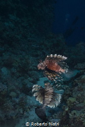 Lionfish (Pterois miles) swimming suspended at midwater. by Roberto Nistri