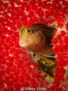 Blenny , at the Jetties of Panama City Beach by Beate Seiler