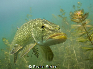 Northern Pike by Beate Seiler