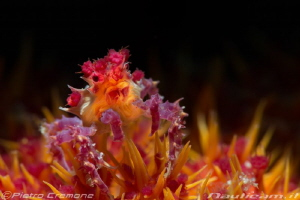 Small candy crab by Pietro Cremone