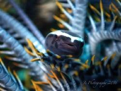 Crinoid Clingfish by Khow Jin Chee