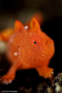 Juvenile Frogfish! No crop.Taken with 100mm macro lens an... by Iyad Suleyman