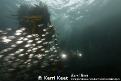 Schooling fish surrounding us on a dusk dive in Cape Town by Kerri Keet