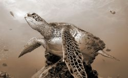 Sepia tone...Hawaiian Green Sea Turtle. Oahu, North Shore. by Glenn Poulain
