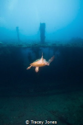 Hawksbill Turtle Swims in front of U.S.A.T Liberty Wreck by Tracey Jones