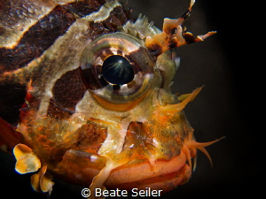 Juvenile scorpion fish by Beate Seiler
