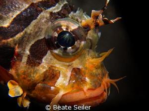 Juvenile scorpion fish by Beate Seiler