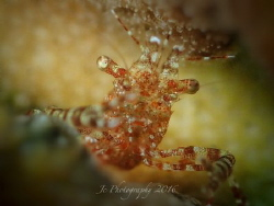 commensal shrimp by Khow Jin Chee