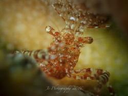 commensal shrimp by Khow Jin Chee