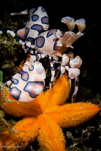 Chow Time! A Harlequin Shrimp drags a young Seastar back ... by Tony Cherbas