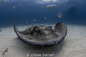 """""""Sandy and the Jacks"""" Large Southern Stingray along the ... by Chase Darnell"""