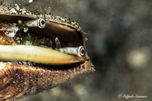 shell eyes by Raffaele Livornese