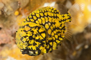 Pineapple fish. by Mehmet Salih Bilal