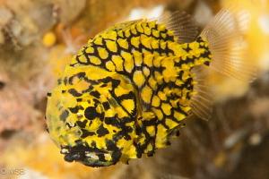 Pineapple fish. by Mehmet Salih Bilal
