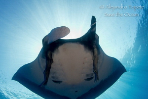 Mantaray with sun, San Benedicto Mexico by Alejandro Topete