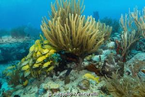 school of blue striped grunts on protected reef near Play... by Antonio Venturelli