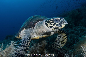 Hawksbill Turtle Feeding Time by Henley Spiers