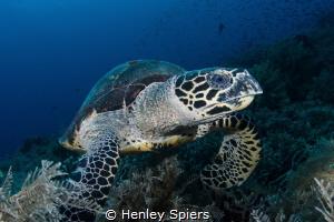 Hawksbill Turtle Feeding Time by Henley Spiers
