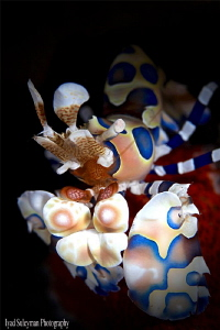 Harlequin Shrimp by Iyad Suleyman