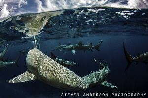 wave running with Lemon Sharks at Tiger Beach off West En... by Steven Anderson