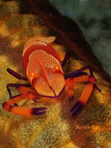 Emperor shrimp on Sea cucumber by Marylin Batt