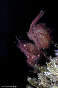 Hairy Shrimp by Iyad Suleyman