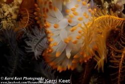 Sea Slug Day celebrated with a yellow gasflame nudibranch by Kerri Keet