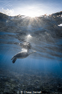 """""""Sparkling Breaths"""" A Green Turtle surfaces for a breath... by Chase Darnell"""