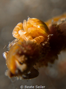 Softcoral crab on a night dive by Beate Seiler