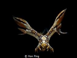 Nudibranch : Bornella Anguilla. by Hon Ping