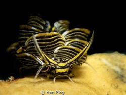 Nudibranch : Cyerce nigra. by Hon Ping