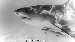 Beautiful 12ft female tiger shark. Cautious and curious. by Sera-Jace Lee