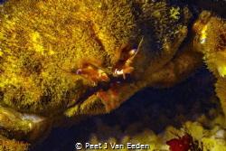 The face of a warrior- The Sumo Crab by Peet J Van Eeden