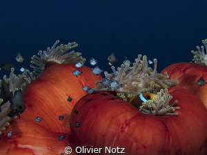 Magnificent anemone in the afternoon by Olivier Notz