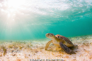"""""""Turtle In The Sunlight""""  Rays of late-day sun illumina... by Susannah H. Snowden-Smith"""