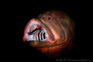 C L E A N I N G Grouper fish (Epinephelinae) Tulamben, ... by Irwin Ang