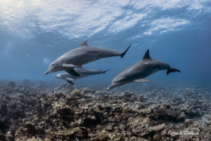 Dolphin family by Raffaele Livornese