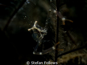 The Dark Places  Black and Silver Cuapetes Shrimp - Cua... by Stefan Follows