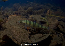 Diversnight Perch from lake Mytajarvi by Teemu Lakka