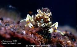 Gnathophyllum americanum - A hungry Bumble Bee Shrimp che... by Arulnageswaran Aruleswaran