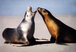 Australian Seals - Kangaroo Island , Seal Bay by Ralf Levc