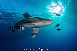Oceanic White Tip Investigates by Henley Spiers