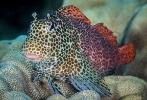 The Elusive Leopard Blenny by Tony Cherbas