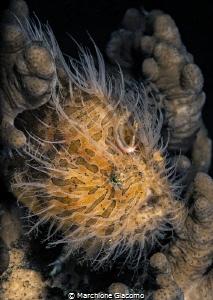 Hair frog . Lembeh strait  Nikon d800E , 105 macro , two... by Marchione Giacomo
